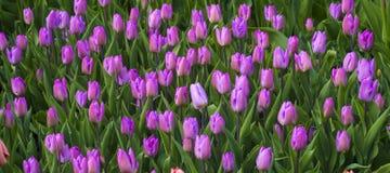 purpura tulpan skyen för showen för växter för rörelse för den förfallna för fältet för blueoklarhetsdagen ligganden för fokusen  Royaltyfri Bild