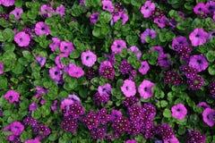 purpura tusenskönor Arkivfoton