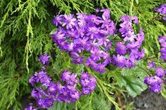 purpura tusenskönor Arkivbild