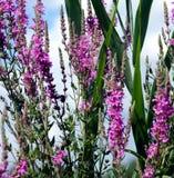 purpura vildblommar Fotografering för Bildbyråer
