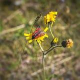 Purpuralis de Zygaena de mite de Burnet sur la fleur jaune en été Images libres de droits