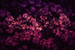 Purpurartige Begonia Flowers Background Foto lizenzfreie stockfotografie