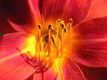 Purpurartiges Rot der Blume, gelbe Azalee Stockbilder