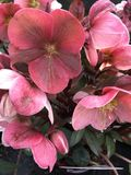 Purpurascens do helleborus do Hellebore Fotografia de Stock Royalty Free