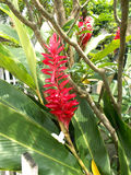 Purpurata Alpinia ή κόκκινα λουλούδια πιπεροριζών στοκ εικόνα με δικαίωμα ελεύθερης χρήσης