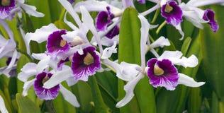 Purpurata di Cattleya dell'orchidea Immagine Stock