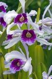 Purpurata di Cattleya dell'orchidea, prima del purpurata di Laelia Fotografia Stock Libera da Diritti