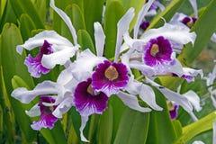 Purpurata di Cattleya dell'orchidea, prima del purpurata di Laelia Fotografie Stock