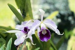 Purpurata di Orchi Cattleya Immagine Stock Libera da Diritti