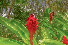 Purpurata vermelho de Ginger Alpinia no parque nacional de Topes de Collantes, Cuba fotos de stock