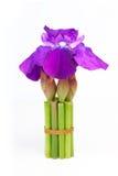Purpurblende der frischen Blume Stockfoto