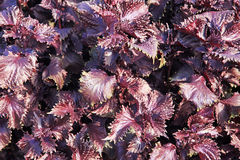 Purpure leaves Stock Photo