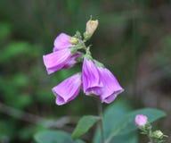 Purpurea наперстянки Стоковое Изображение