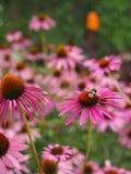 Purpurea эхинацеи (рубиновое coneflower звезды) и шмель Стоковые Изображения RF