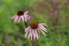 Purpurea эхинацеи & x27; Pallida& x27; Стоковая Фотография