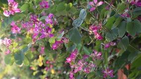 Purpurea Bauhinia, επαρχία ήχων καμπάνας Lam, Βιετνάμ απόθεμα βίντεο