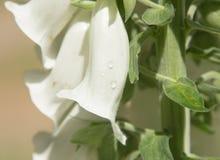 Purpurea blanc Hollande de digitale de fleur de digitale Photographie stock libre de droits