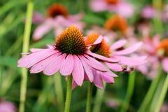 Purpurea d'Echinacea Images stock
