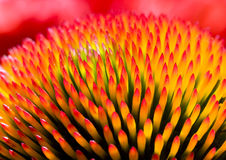 Purpurea d'Echinacea Photos stock