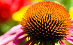 Purpurea d'Echinacea Photos libres de droits