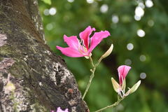 Purpurea de Bauhinia Photos stock