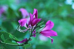 Purpurea de Bauhinia Photographie stock