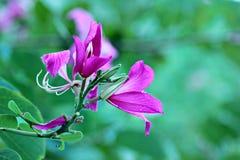 Purpurea de Bauhinia Image stock