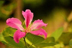Purpurea de Bauhinia Photo stock