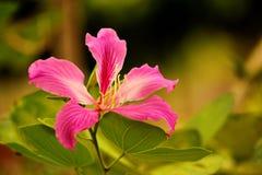Purpurea de Bauhinia Photo libre de droits