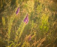 Purpurea de digitale, digitale dans un pré non cultivé au crépuscule Photographie stock libre de droits