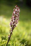 Purpurea de Orchis con el fondo verde Foto de archivo
