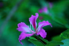 Purpurea del Bauhinia Fotos de archivo