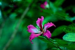 Purpurea del Bauhinia Foto de archivo libre de regalías