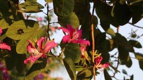 Purpurea del Bauhinia, provincia de Lam Dong, Vietnam almacen de video
