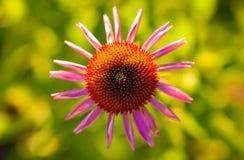 Purpurea del Echinacea Imagenes de archivo