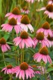 Purpurea del Echinacea Immagini Stock Libere da Diritti