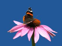 Purpurea del Echinacea Imagen de archivo libre de regalías