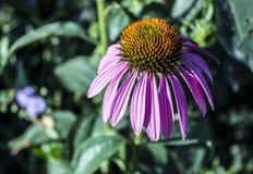 Purpurea del Echinacea de la flor en el jardín fotografía de archivo libre de regalías
