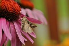 Purpurea del Echinacea de la floración fotografía de archivo libre de regalías