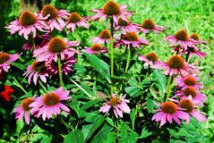 Purpurea del Echinacea - una hierba que estimula el sistema inmune Fotos de archivo libres de regalías