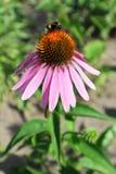 Purpurea del Echinacea y x28; Coneflower& púrpura del este x29; flor con el bumbl Imágenes de archivo libres de regalías