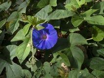 Purpurea del Ipomoea, flor azul de la correhuela imagenes de archivo