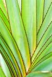 Purpurea dell'aloe Immagini Stock