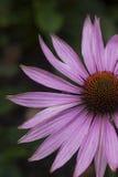 Purpurea di Echinea Fotografia Stock Libera da Diritti