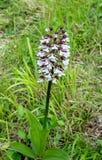 Purpurea di signora Orchid Orchis immagine stock libera da diritti