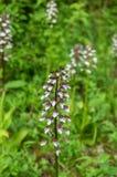 Purpurea di signora Orchid Orchis fotografie stock libere da diritti