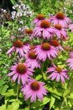 Purpurea do Echinacea imagens de stock royalty free