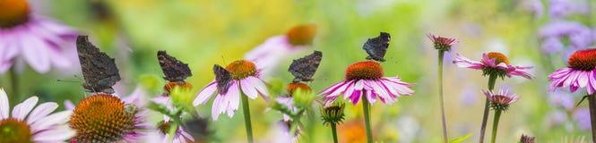 Purpurea do Echinacea - coneflower no jardim com borboletas Imagens de Stock
