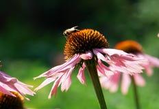purpurea echinacea Стоковое Изображение RF