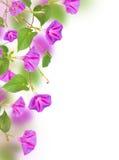 Purpurea för morgonhärlighet Royaltyfri Fotografi